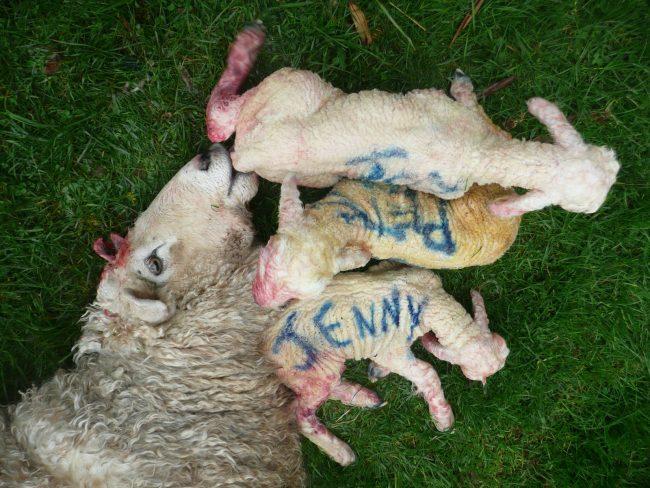Pohoda po ovčím porodu na Novém Zélandu